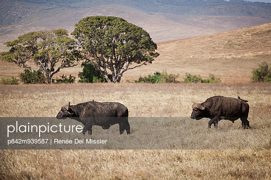 Two buffaloes - p842m939587 by Renée Del Missier