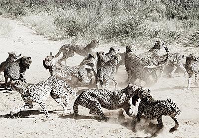 Geparden - p887m1124785 von Christian Kuhn