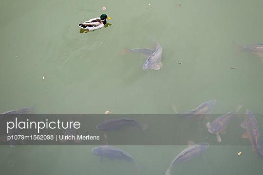 Ente im Karpfenteich - p1079m1562098 von Ulrich Mertens