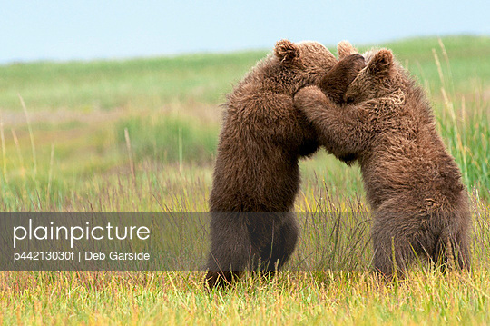 two brown grizzly bear cubs(ursus arctos horribilis) standing on their hind legs embracing - p44213030f by Deb Garside