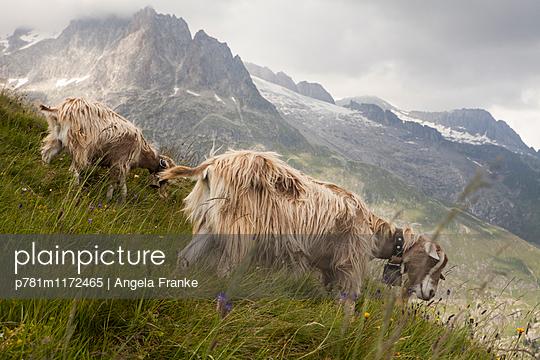 Ziegen - p781m1172465 von Angela Franke
