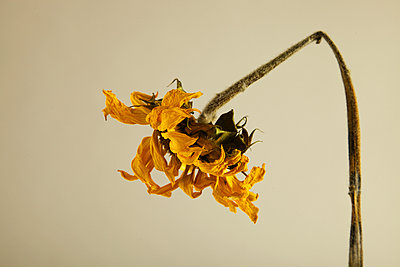 Sunflower Dried Side - p1072m899624 by Martin Ward
