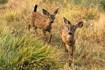 White-tailed deer (Odocoileus virginianus) fawns in the Cascade Siskiyou National Monument; Ashland, Oregon, United States of America - p442m2037169 by David Hoffmann Photography