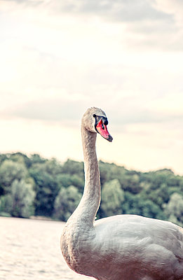 Germany, Swan - p879m2245652 by nico