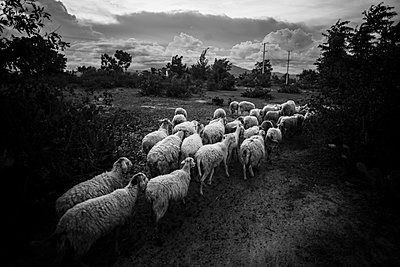 Flock of sheep - p934m893002 by Binh Dang photography