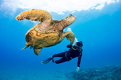 A photographer lines up with his smart phone in a housing on this Green sea turtle (Chelonia mydas) off the coast of Maui; Hawaii, United States of America - p442m2003597 by Dave Fleetham