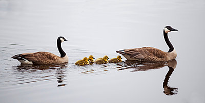Geese with goslings on tranquil water; Duluth, Minnesota, United States of America - p442m996397f by Susan Dykstra