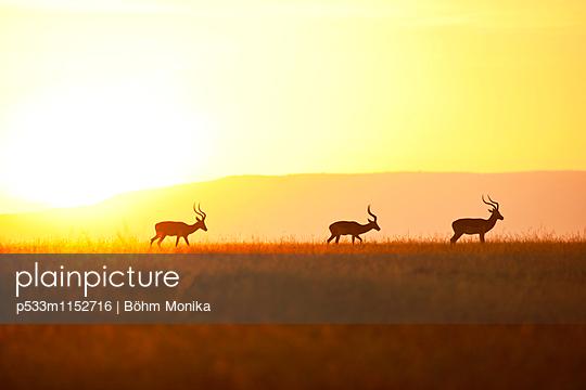 Impalas vor Sonnenaufgang - p533m1152716 von Böhm Monika