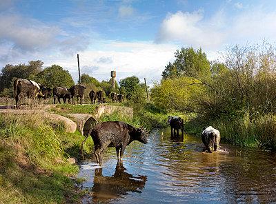Kühe - p3900192 von Frank Herfort