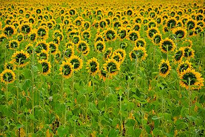 sunflower field - p876m2128163 by ganguin