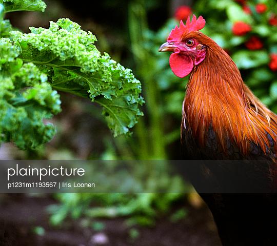 Rooster in kitchen garden - p1231m1193567 by Iris Loonen