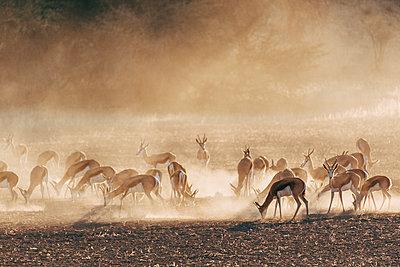 Herde Springböcke, Kalahari, Südafrika - p1065m982612 von KNSY Bande