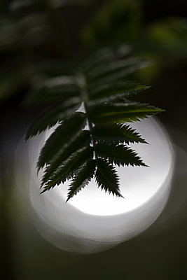 Backlighting leaves - p1682m2260752 by Régine Heintz