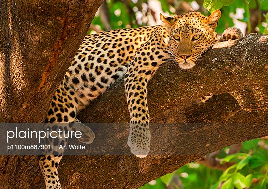 Leopard - p1100m887901f by Art Wolfe