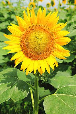 Sunflower - p307m1125584f by Rodrigo Reyes Marin