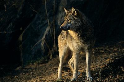 Wolf im Wald - p3300481 von Harald Braun
