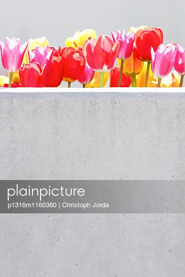 Tulpen hinter einer Mauer, Kaufbeuren, Bayern, Deutschland - p1316m1160380 von Christoph Jorda