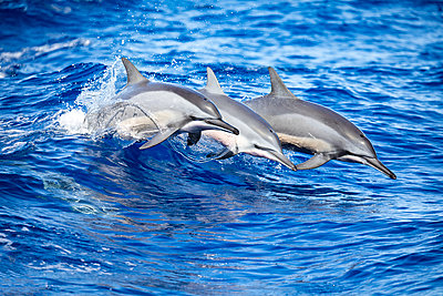Three Spinner dolphins (Stenella longirostris) leap out of the Pacific Ocean off the island of Lanai; Lanai, Hawaii, United States of America - p442m2074127 by Dave Fleetham