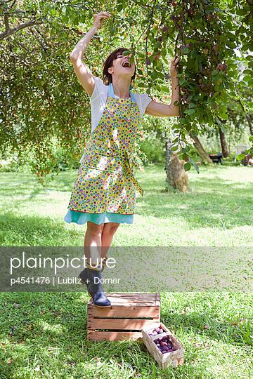 Pflaumenernte - p4541476 von Lubitz + Dorner