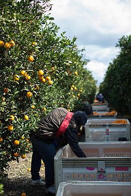 Harvest in orange plantation - p1134m1440777 by Pia Grimbühler