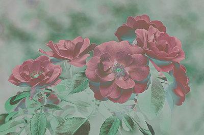 Red flowers - p1668m2288163 by daniel belet