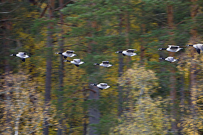 Canada geese come in to land - p235m881117 by KuS