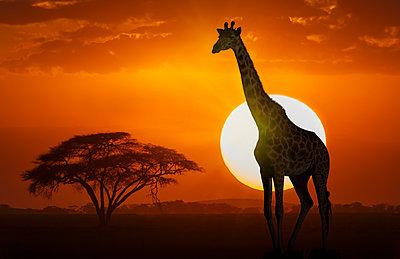 Giraffe at sunset in Amboseli National Park, Kenya, East Africa, Africa - p871m2003567 by Angelo Cavalli