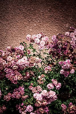 Rosa Buschrosen - p248m1462774 von BY