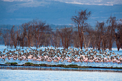 Flock of birds and flamingoes - p533m1003314 by Böhm Monika