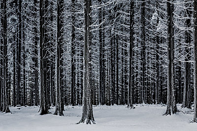 Snow-covered forest at Mont Pilat - p910m1467701 by Philippe Lesprit