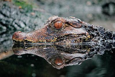 Krokodil - p1189m1067919 von Adnan Arnaout