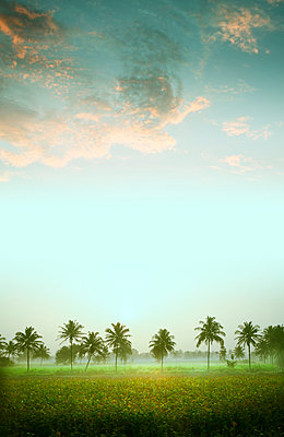 Palm trees in India - p375m1041613 by whatapicture
