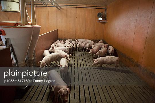 Schweine auf Spaltenboden - p1058m817160 von Fanny Legros