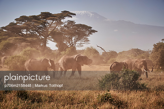 Herd of elephants against Mount Kilimanjaro, Kenya - p706m2158448 by Markus Tollhopf