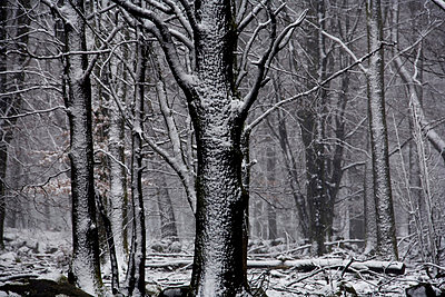 snow-covered trees - p8475340 by Per Klaesson