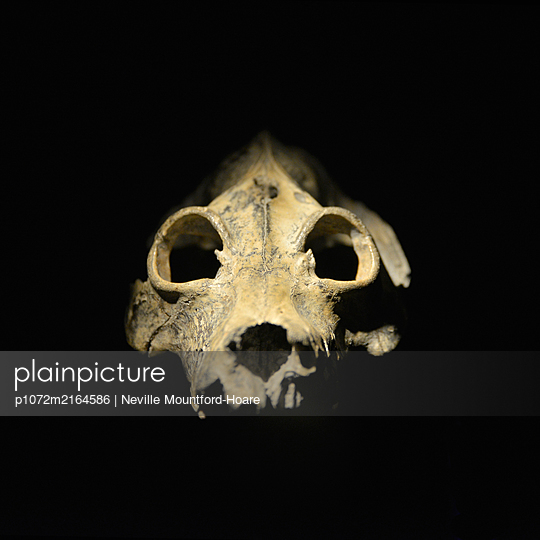Giant Lemur Skull - p1072m2164586 by Neville Mountford-Hoare