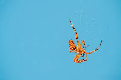 Cross spider, Araneus, abdomen, blue background - p300m2131879 by Frank Röder
