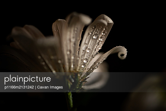 CLOSE UP OF WHITE FLOWER WITH WATER DETAILS - p1166m2131242 by Cavan Images