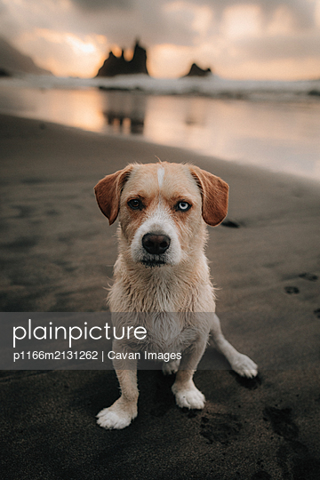 Dog on the beach in a summer sunset - p1166m2131262 by Cavan Images