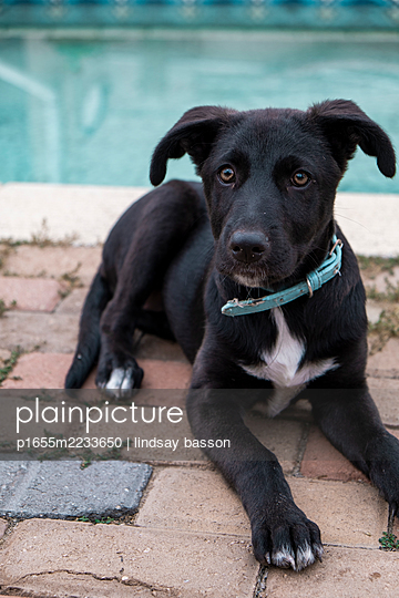 Border Collie x German Shepherd Puppy - p1655m2233650 by lindsay basson
