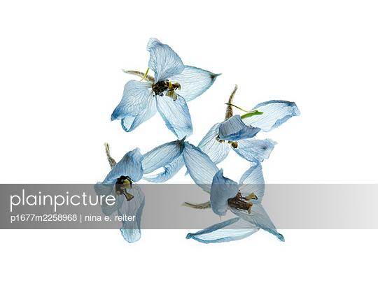 Delphinium blossoms against white background - p1677m2258968 by nina e. reiter