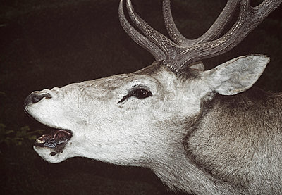 Stuffed deer head - p564m2284412 by Dona