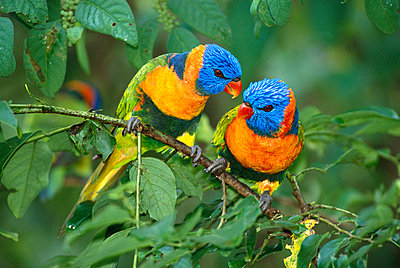 Rainbow Lorikeet pair interacting - p8844452 by Matthias Breiter