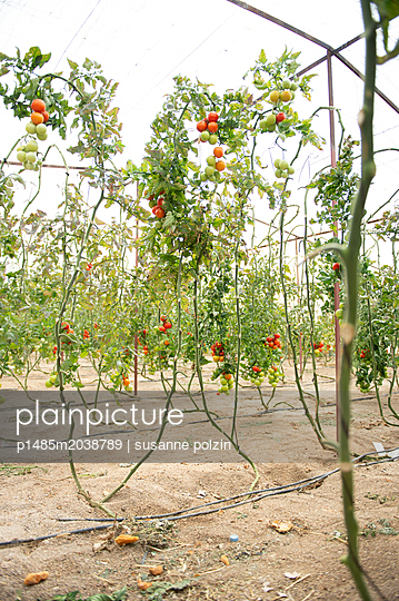 Tomate - p1485m2038789 von susanne polzin
