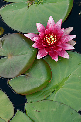 Water lily - p1650708 by Andrea Schoenrock