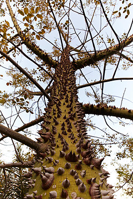 Silk floss tree - p4150613 by Tanja Luther