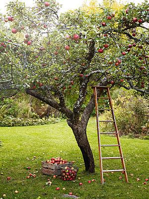 Apple tree with ladder, Varmdo, Uppland, Sweden - p528m875608 by Anna Kern