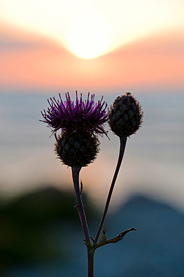 A thistle against the light, Sweden. - p5755330f by Fredrik Schlyter