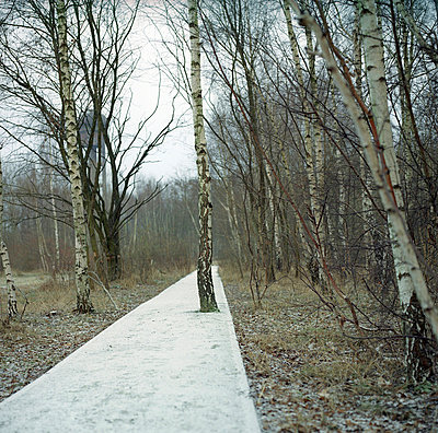 Birch tree in a pathway - p7660069 by Natalie Kriwy