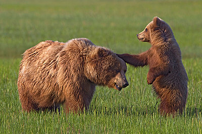 Grizzly Bear mother playing with cub - p884m864422 by Ingo Arndt